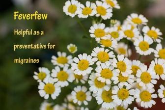 Feverfew-1000-WEBSITE-IMG_7820