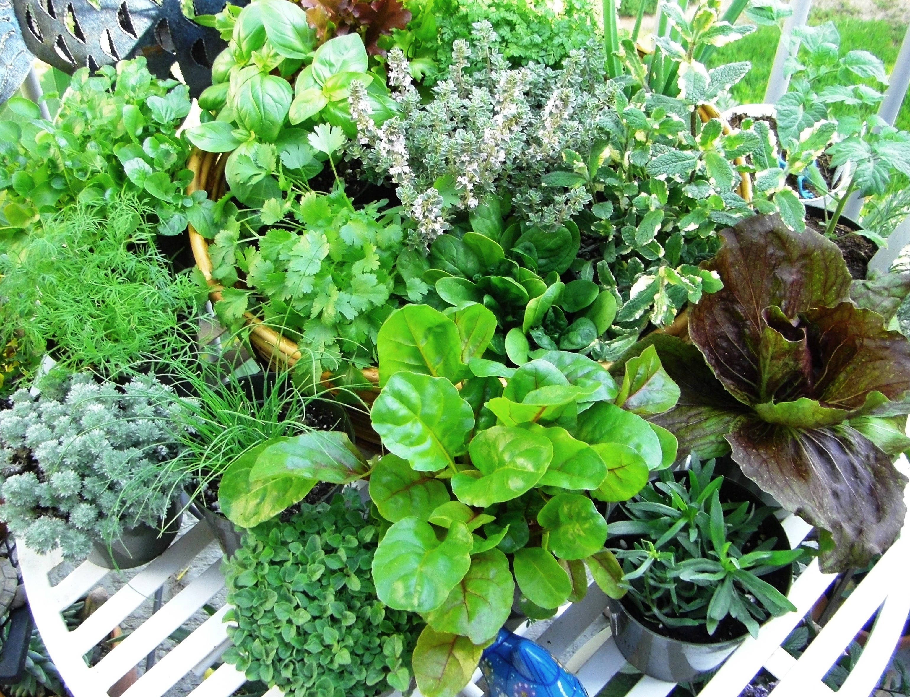 Harvesting Herbs  | Good Witches Homestead