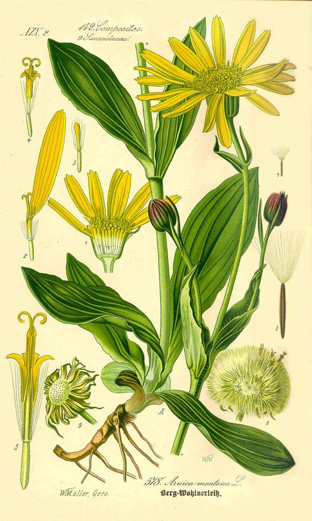 Illustration_Arnica_montana-clean
