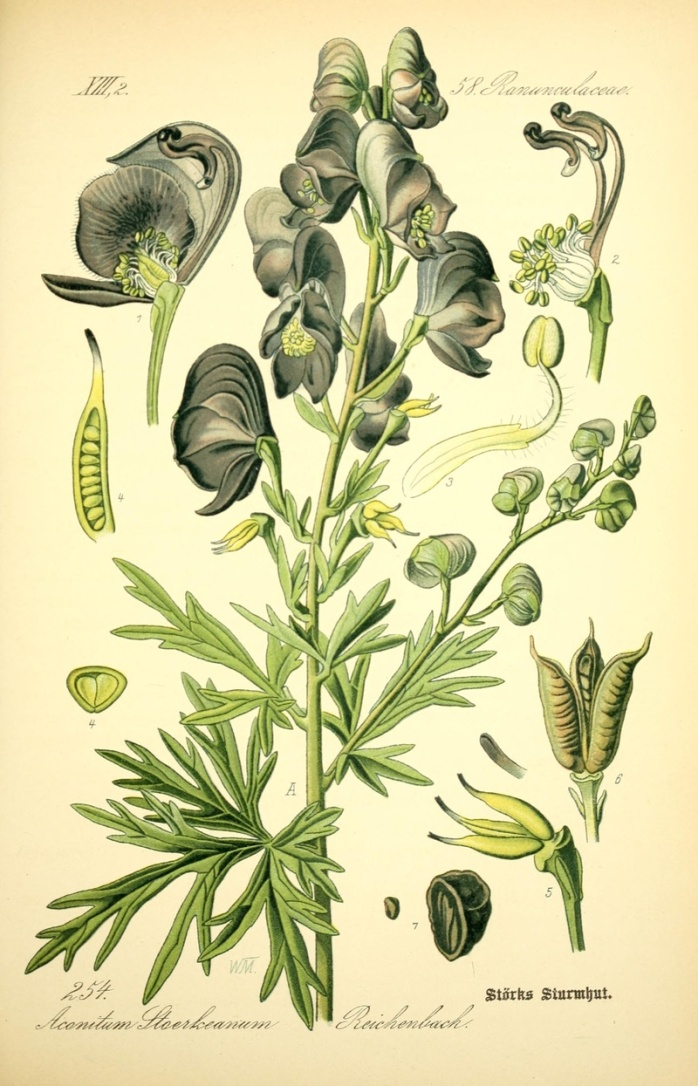 monkshood illistration