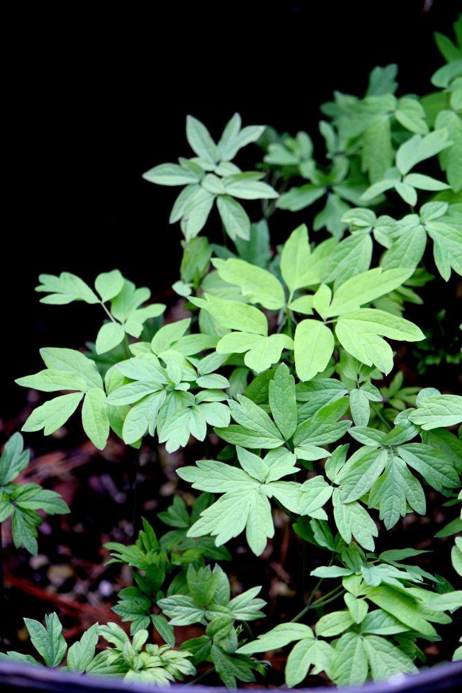 blue cohosh seedlings