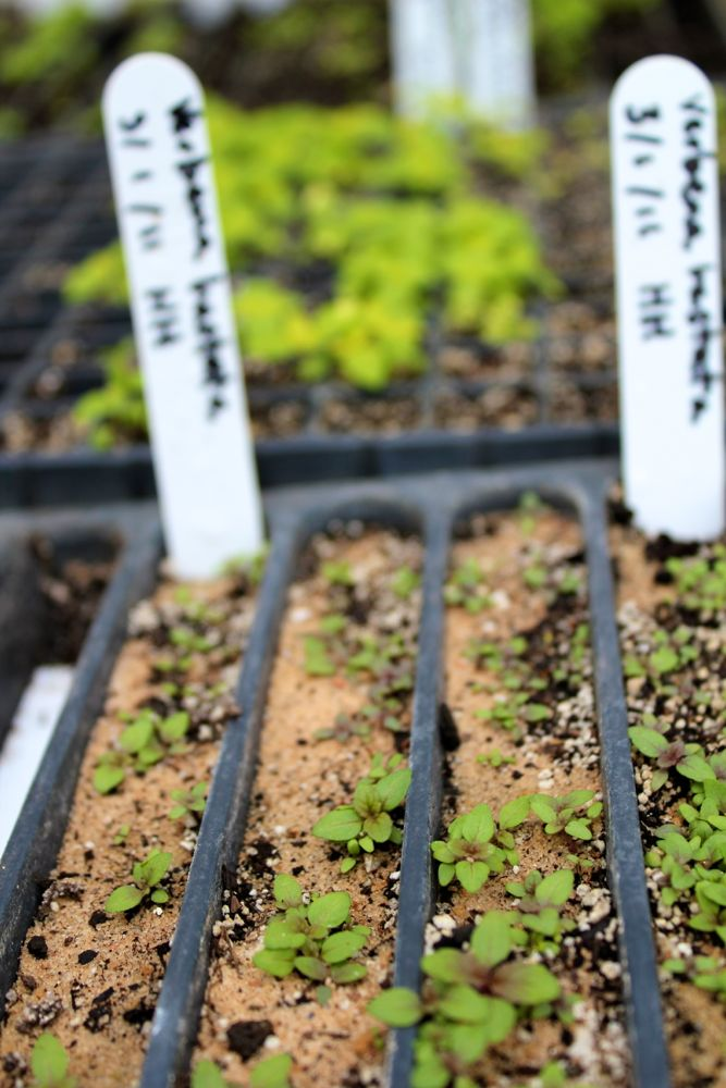 blue vervain seedlings