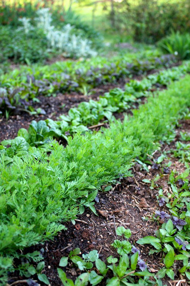 california poppy seedlings