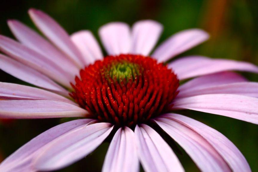 Echinacea-purpurea