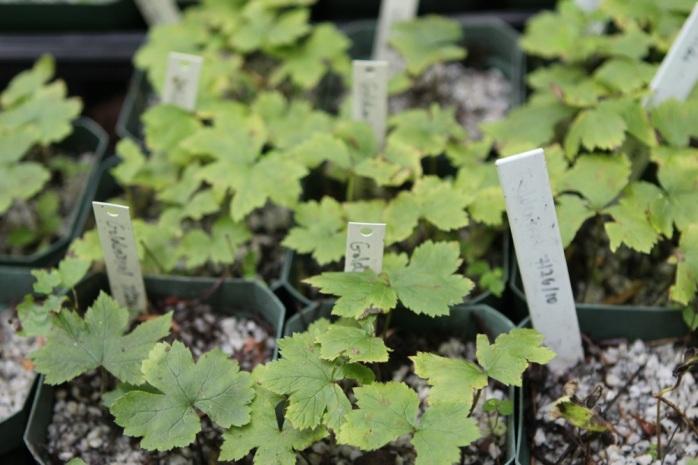 golden seal seedlings
