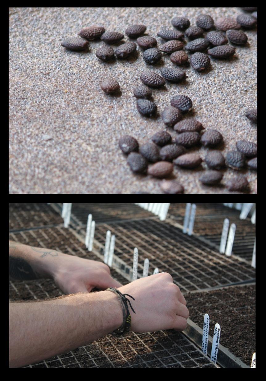 Passiflora-scarification