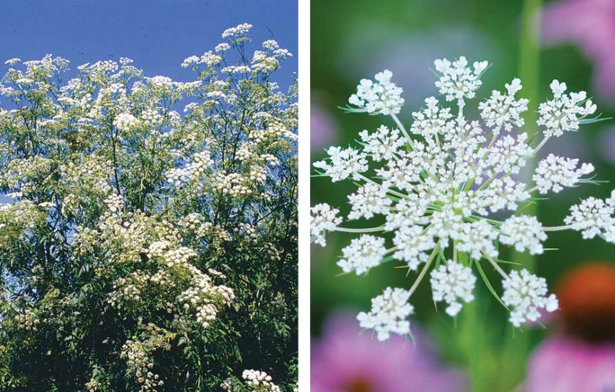 hemlock queen lace lookalike