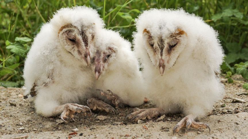 Altruism in owls? Chicks perform surprisingly generous act
