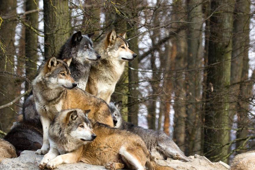 Wolf ~ TotemAnimal