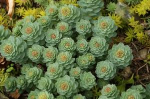 rhodiola-plant
