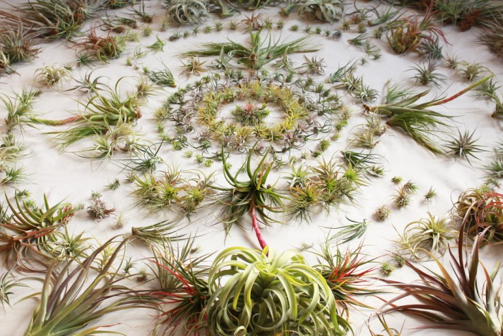 Sculptural and Stylish, Air Plants Thrive Indoors with a Minimum of Care
