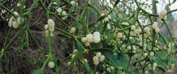 mistletoe-berries-credit-harry-green