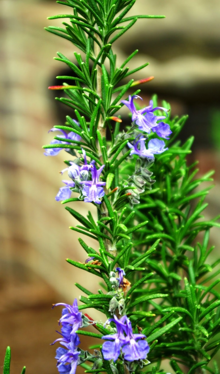 rosemary-with-blooms