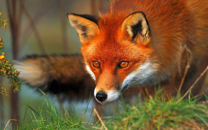 Learn About Foxes!