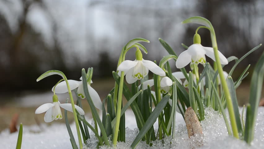 Snowdrop {January Flower}