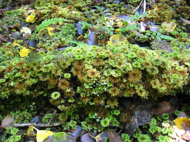 moss-plant
