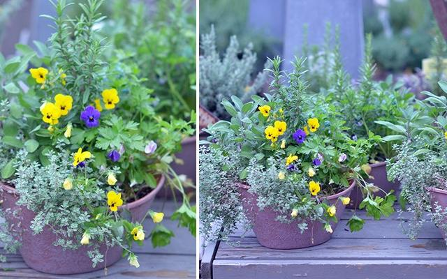 pansy-herb-combos