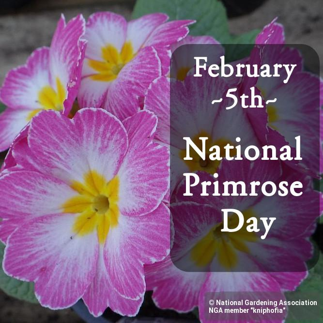 Growing Primrose – Primrose Plants In Your Garden