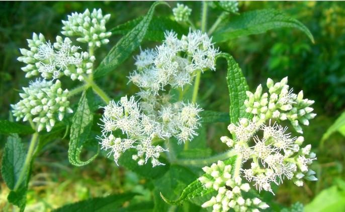 boneset-flowers