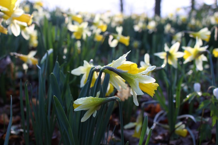 daffs-closer-6