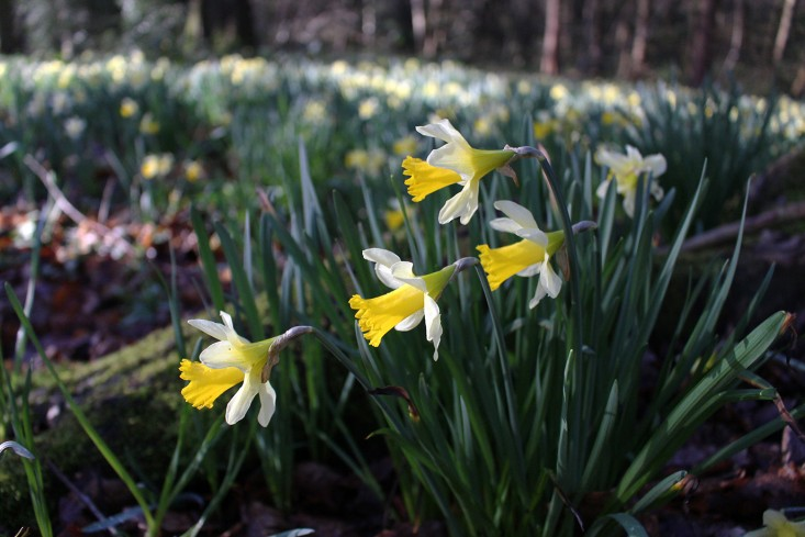 daffs-middle-range-3