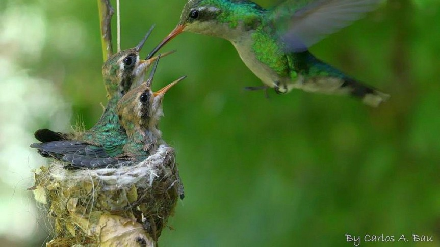humming-birds-nest