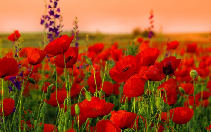 red-poppies-field