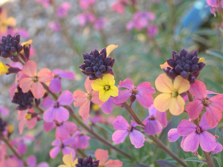 Late Spring Flower ~ Wallflower