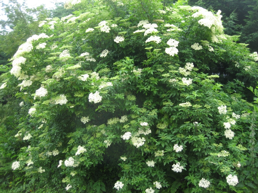 Medicinal Trees: Elder