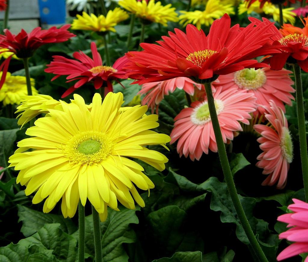 April birth flower good witches homestead gerber daisy izmirmasajfo