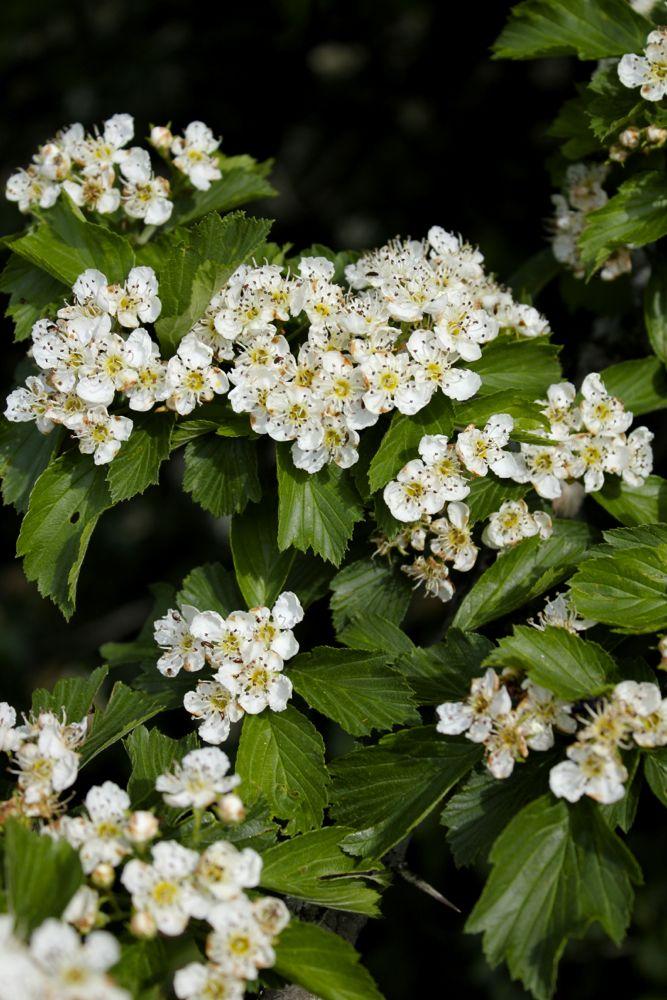 Hawthorn-flowers