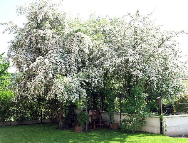 Medicinal Trees: Hawthorn