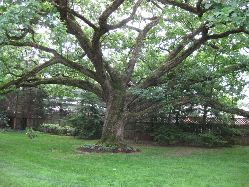Medicinal Trees: Linden – Good Witches Homestead