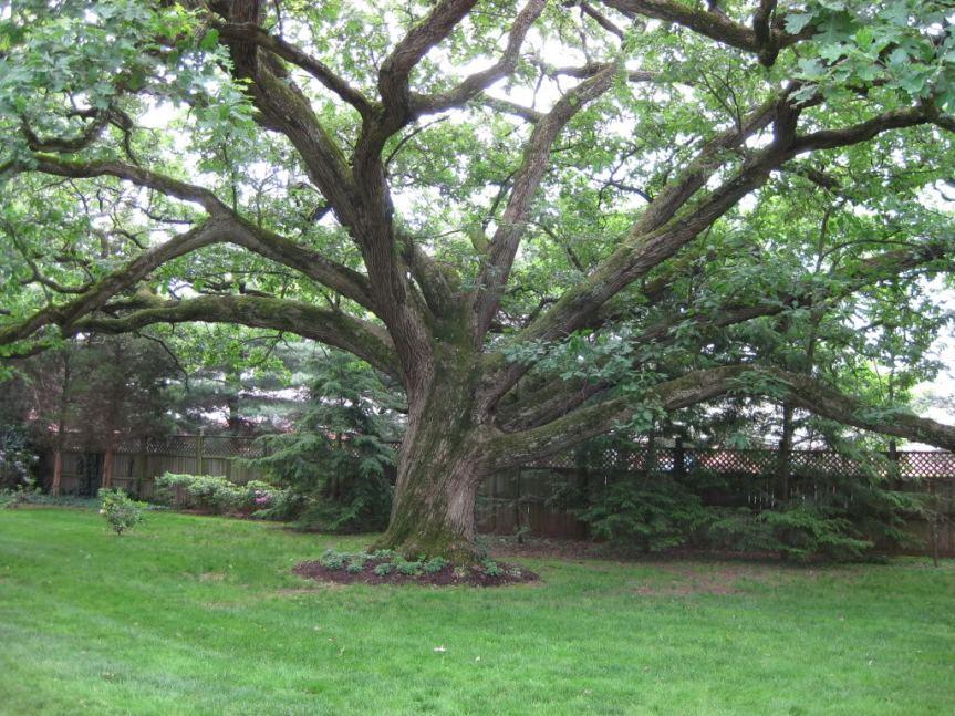 Medicinal Trees: Linden