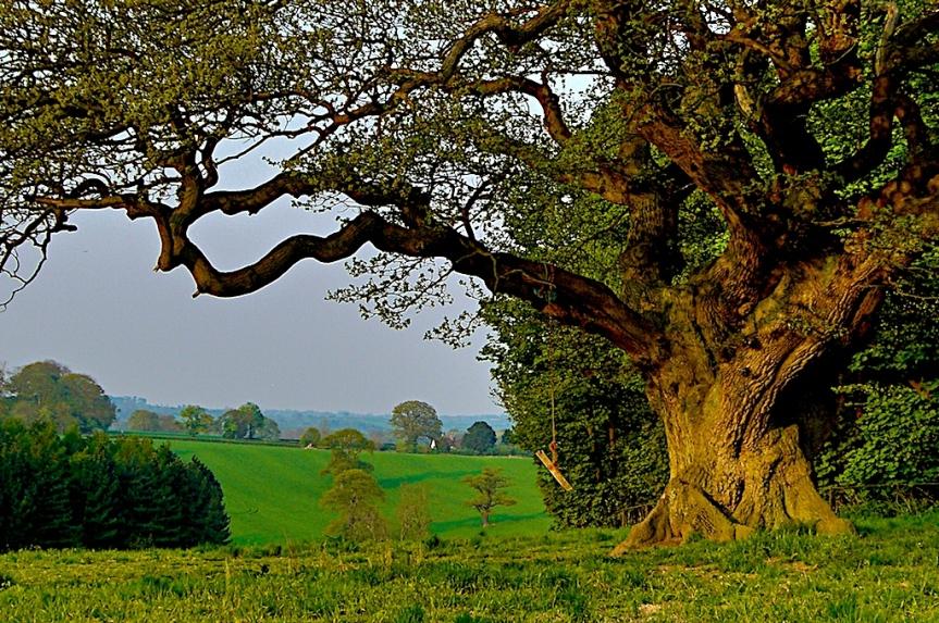 Medicinal Trees: Oak