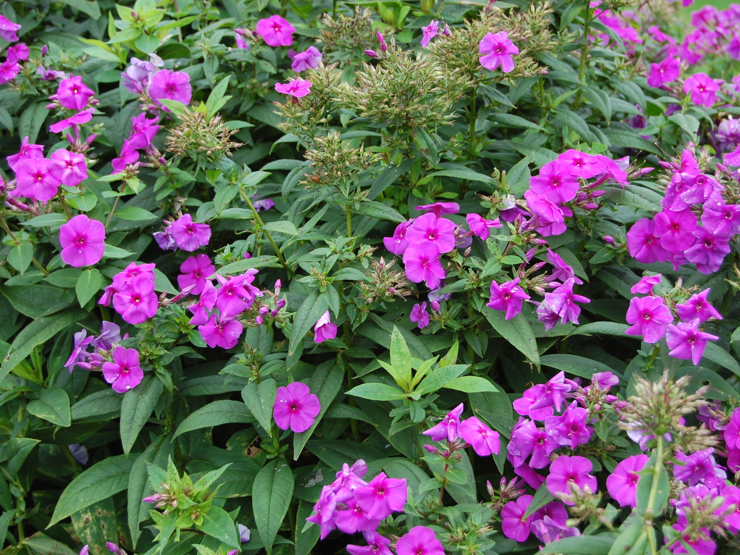 tall garden center bee friendly bath astilbe phlox