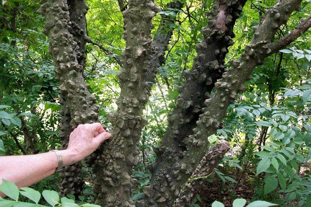 Medicinal Trees: PricklyAsh