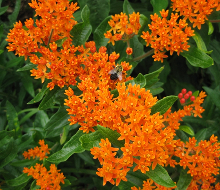 Butterfly Weed ~ Asclepiastuberosa