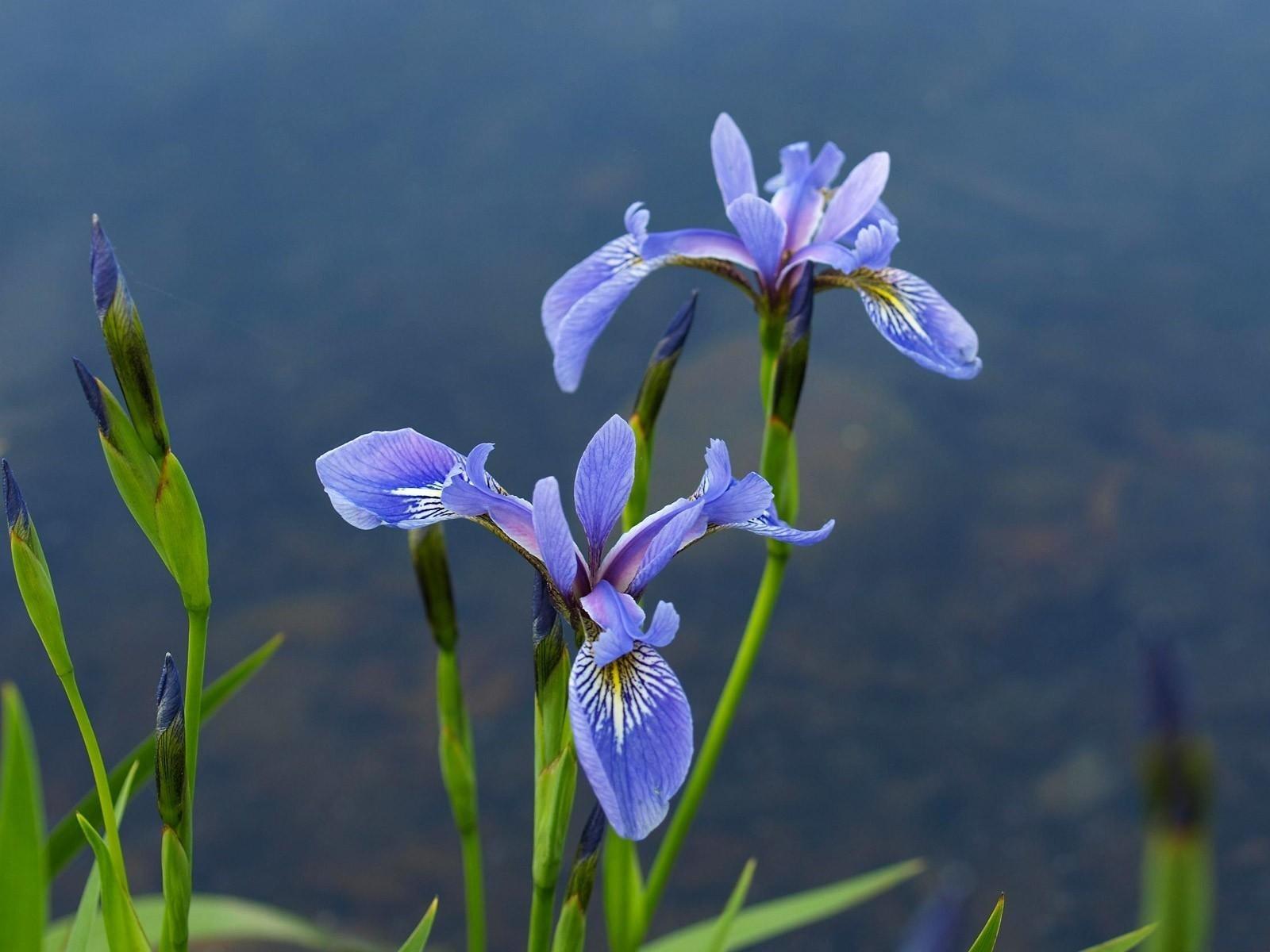 Iris Temple Illuminatus