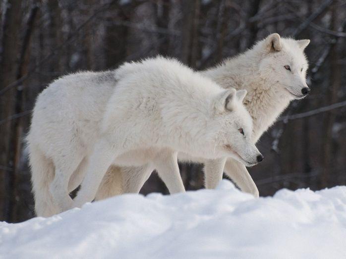 artic wolfs