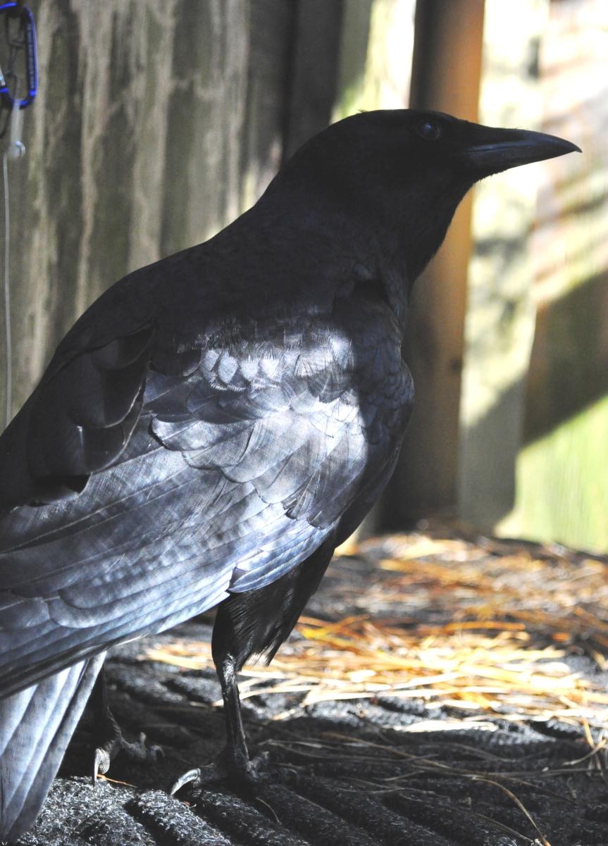 Animal Spirit and Medicine: CrowSpirit