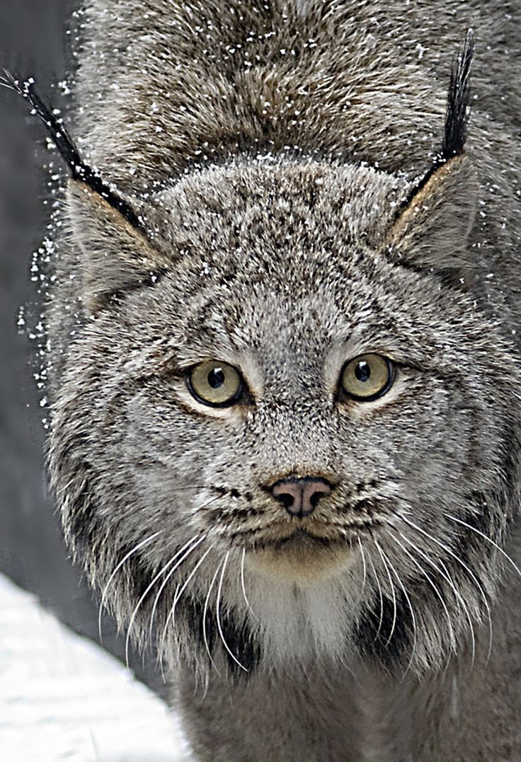 Animal Spirit and Medicine: Totem Of The Lynx