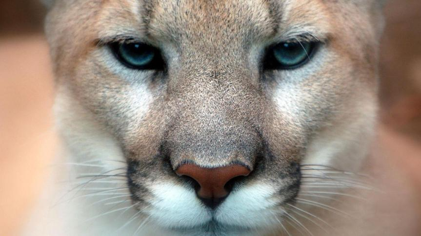 Animal Spirit and Medicine: Cougar Spirit