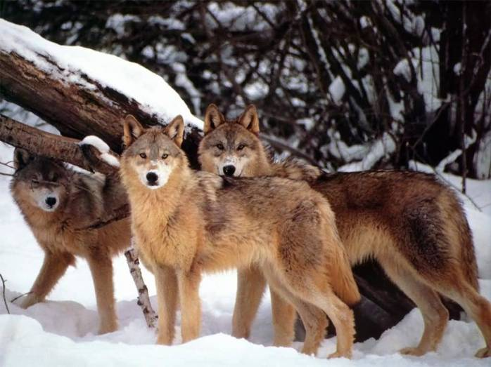 Wolves-1
