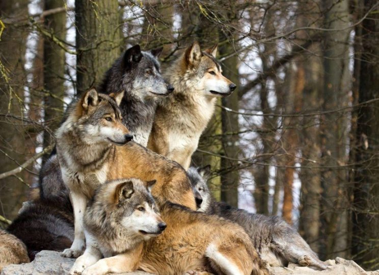 Animal Spirit and Medicine: Spirit of theWolf