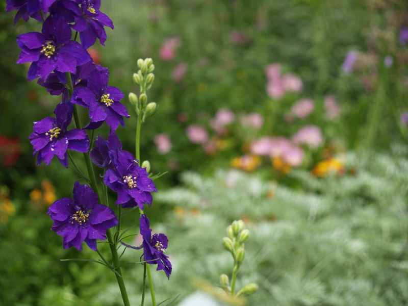 Larkspur: July Birth Flower | Good Witches Homestead