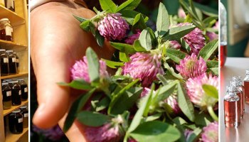 Medicinal Herb: Bearberry | Good Witches Homestead