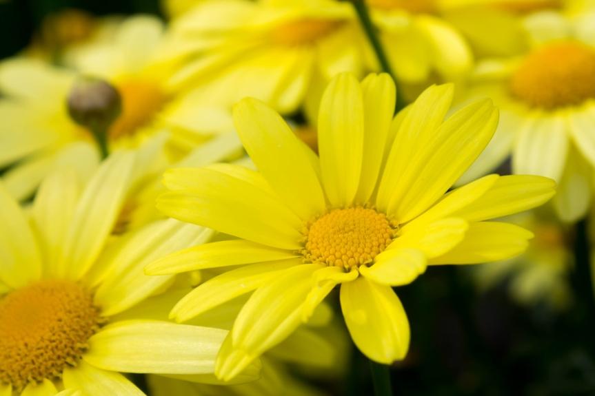 Medicinal Herbs: Arnica