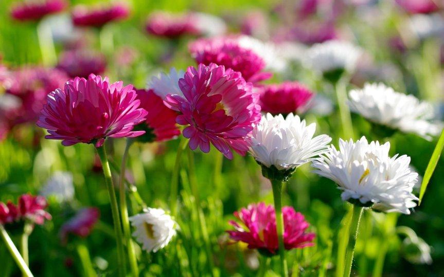 November Birthflower: Chrysanthemum
