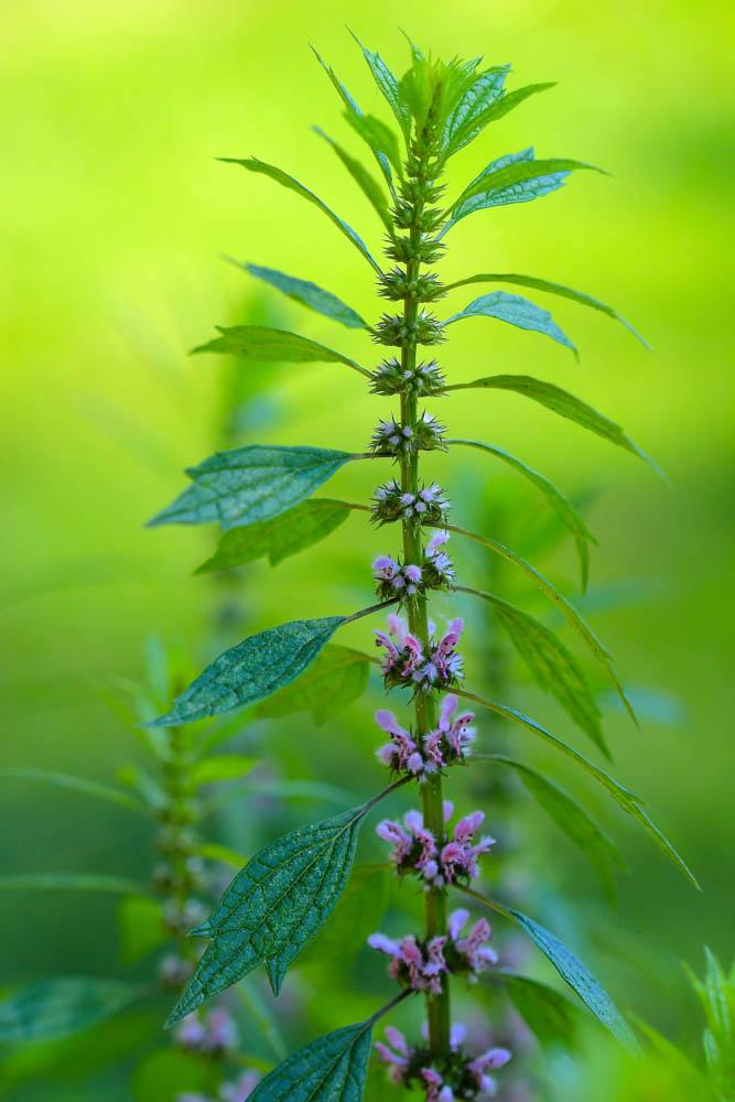 Medicinal Herb: Motherwort {Leonuruscardiaca}